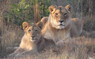 FREE Webinar – A Global Prayer & Meditation for Lions