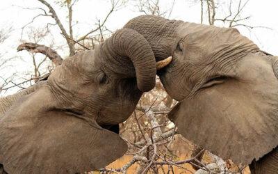 FREE Webinar – H.E.A.R.T. for Elephants