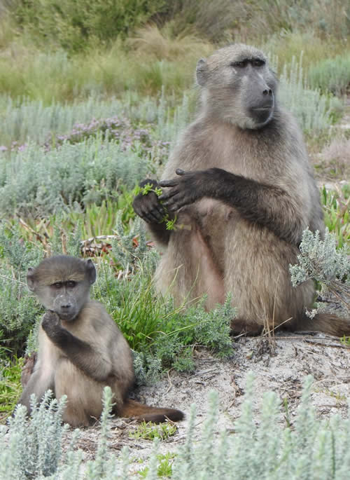 African wildlife - Baboon Matters Trust South Africa