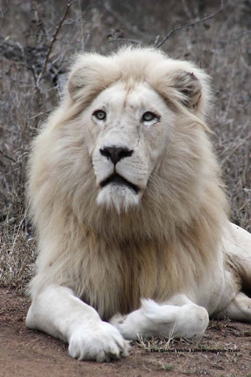 African wildlife - White Lion Protection Trust