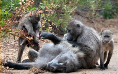 "Newsletter Blog – ""BE-ing"" with Baboons and other wild neighbours"
