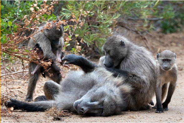 """Newsletter Blog – """"BE-ing"""" with Baboons and other wild neighbours"""